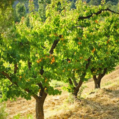 arbres fruitiers de la ferme du dégoutaud