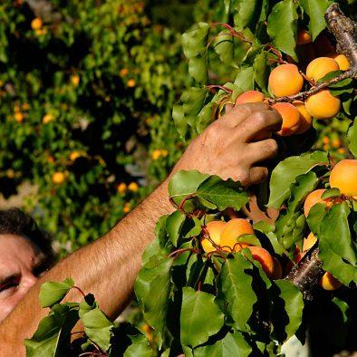arbre fruitier de la ferme du dégoutaud